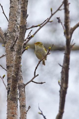 Корольковая пеночка Фотограф: VictorV Pallas's Leaf Warbler  Просмотров: 292 Комментариев: 1