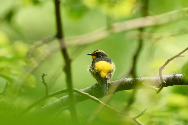 Японская мухоловка, самец Фотограф: VictorV Narcissus Flycatcher, male  Просмотров: 336 Комментариев: 0