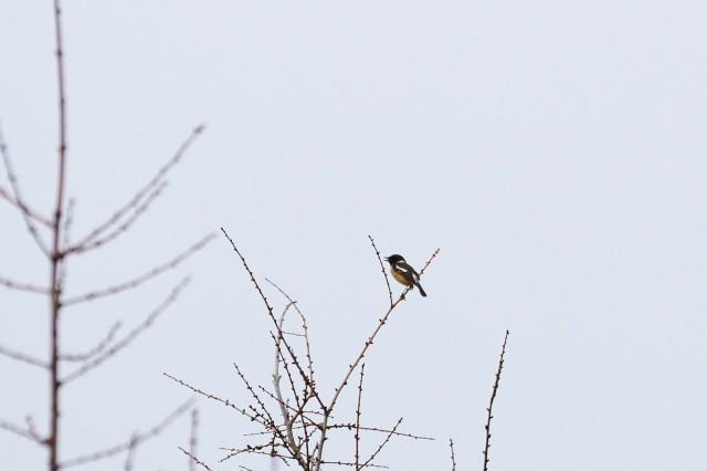 Черноголовый чекан, самец Фотограф: VictorV  Просмотров: 260 Комментариев: 0