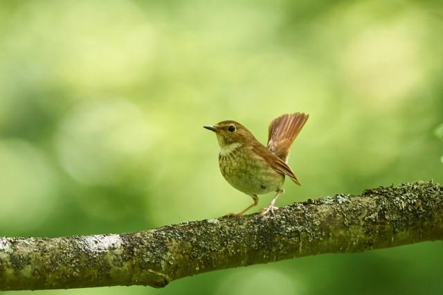 Соловей-свистун Фотограф: VictorV Rufous-tailed Robin  Просмотров: 451 Комментариев: 0