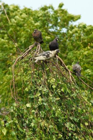 Тусовка голубиная  Фотограф: VictorV  Просмотров: 929 Комментариев: 0