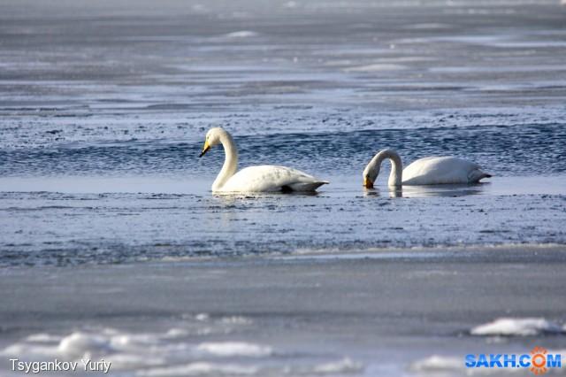Лебеди Фотограф: Tsygankov Yuriy  Просмотров: 203 Комментариев: 0