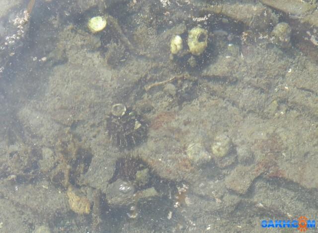 Морские ежи на отмели.  Просмотров: 22 Комментариев: 0