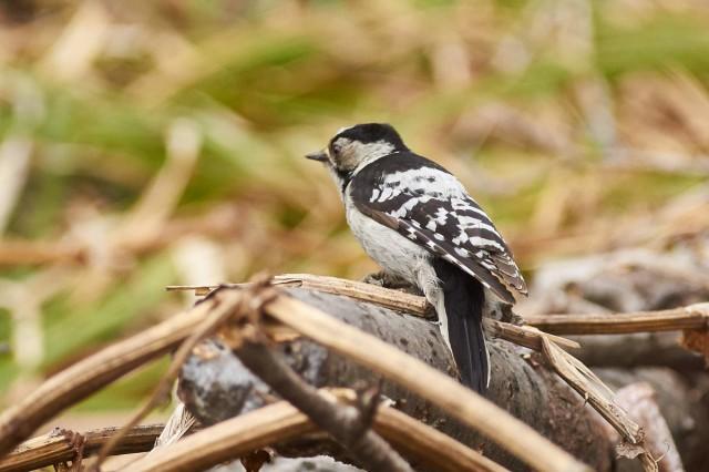 Grey-capped Pygmy Woodpecker Фотограф: VictorV Большой острокрылый дятел  Просмотров: 391 Комментариев: 0