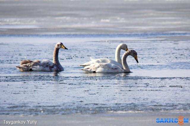 Полюбовались серо-белым лебедем. Фотограф: Tsygankov Yuriy Окрас понравился, мраморный!  Просмотров: 292 Комментариев: 0
