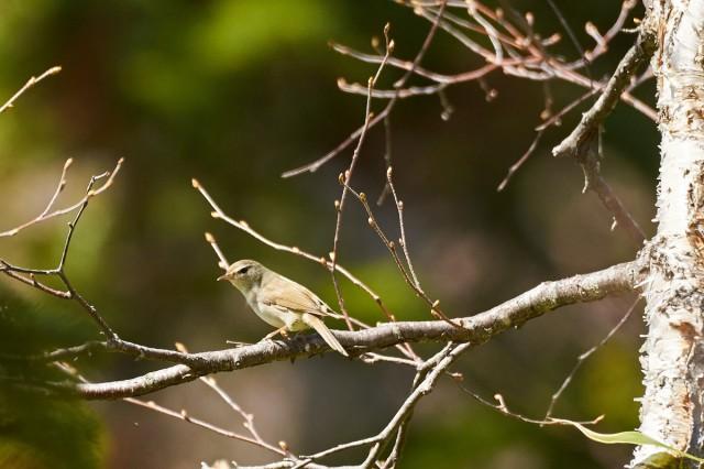 _DSC8855 Фотограф: VictorV Japanese Bush-warbler  Просмотров: 326 Комментариев: 0