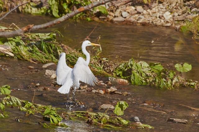 Большая белая цапля Фотограф: VictorV Great White Egret  Просмотров: 509 Комментариев: 3