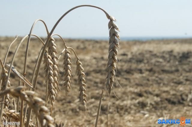Пшеница Фотограф: NIK  Просмотров: 319 Комментариев: 0