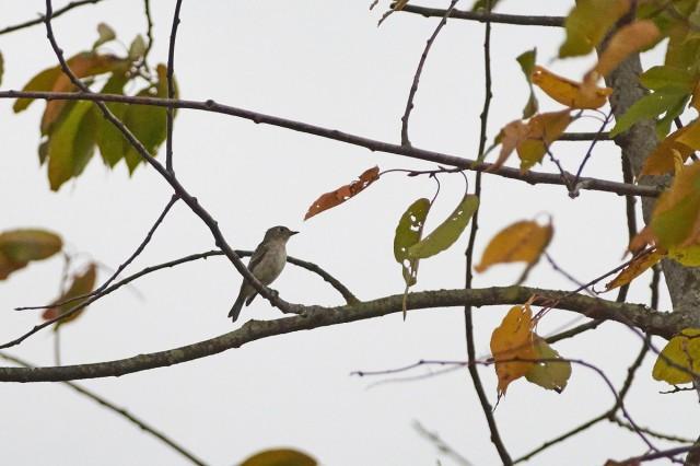 Ширококлювая мухоловка Фотограф: VictorV Asian Brown Flycatcher  Просмотров: 433 Комментариев: 0