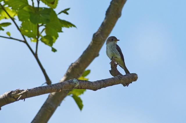Ширококлювая мухоловка Фотограф: VictorV Asian Brown Flycatcher  Просмотров: 421 Комментариев: 0