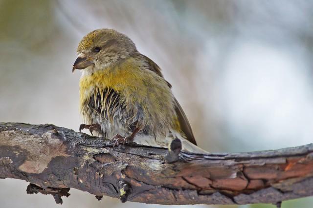 Клёст-еловик, самка Фотограф: VictorV Мокрая от ползанья по снегу ))  Просмотров: 816 Комментариев: 0