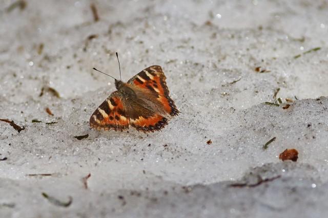 Бабочка на снегу ) Фотограф: VictorV  Просмотров: 465 Комментариев: 0