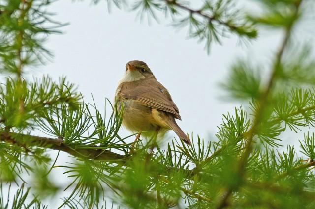 Толстоклювая пеночка Фотограф: VictorV Radde's Warbler  Просмотров: 441 Комментариев: 0