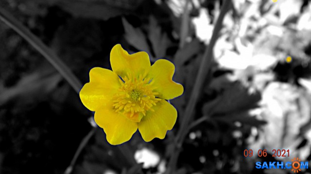 Лютики-цветочки...