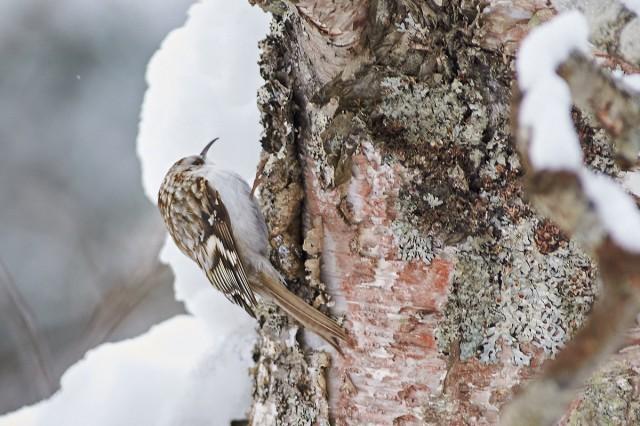 Обыкновенная пищуха Фотограф: VictorV Eurasian Treecreeper  Просмотров: 435 Комментариев: 0