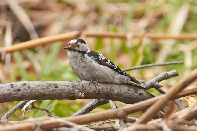 _DSC8669 Фотограф: VictorV Grey-capped Pygmy Woodpecker  Просмотров: 287 Комментариев: 0