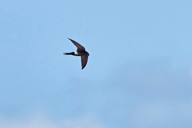 Белопоясный стриж Фотограф: VictorV Fork-tailed Swift  Просмотров: 544 Комментариев: 1