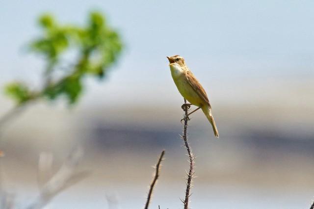 Black-browed Reed-warbler Фотограф: VictorV Чернобровая камышевка  Просмотров: 469 Комментариев: 1