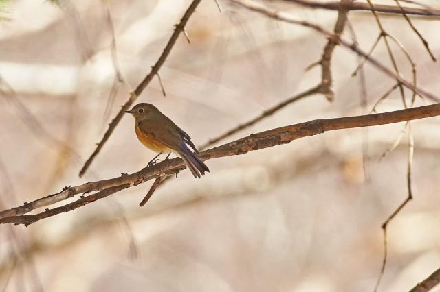 Синехвостка Фотограф: VictorV Orange-flanked Bush-robin  Просмотров: 382 Комментариев: 0