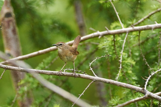 Соловей-красношейка, самка Фотограф: VictorV Siberian Rubythroat, female  Просмотров: 258 Комментариев: 0