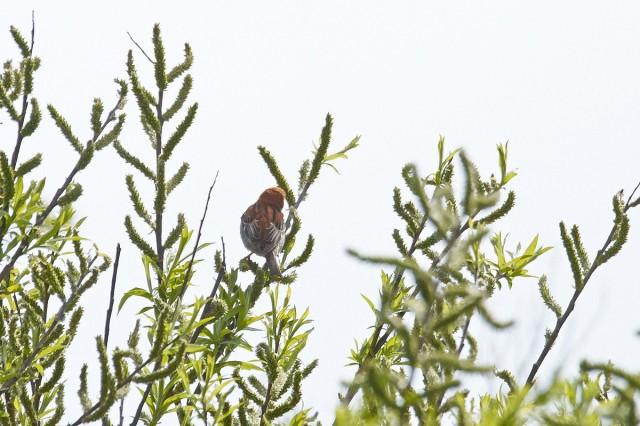 Рыжий воробей Фотограф: VictorV Russet Sparrow  Просмотров: 590 Комментариев: 0