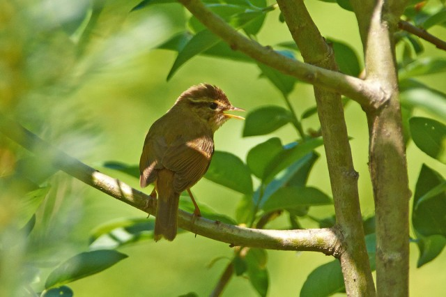 Radde's Warbler Фотограф: VictorV Толстоклювая пеночка  Просмотров: 477 Комментариев: 2