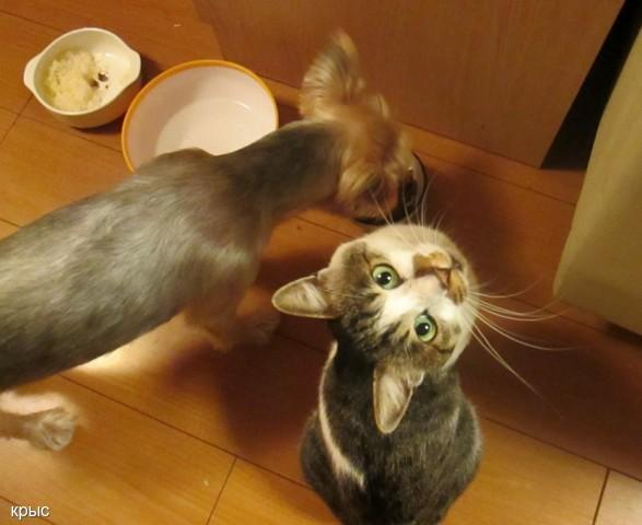 Пёс ест у кота