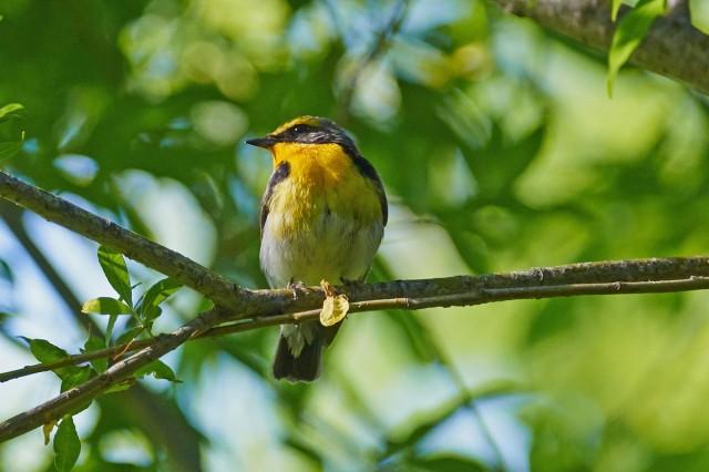 Японская мухоловка, самец Фотограф: VictorV Narcissus Flycatcher, male  Просмотров: 383 Комментариев: 0