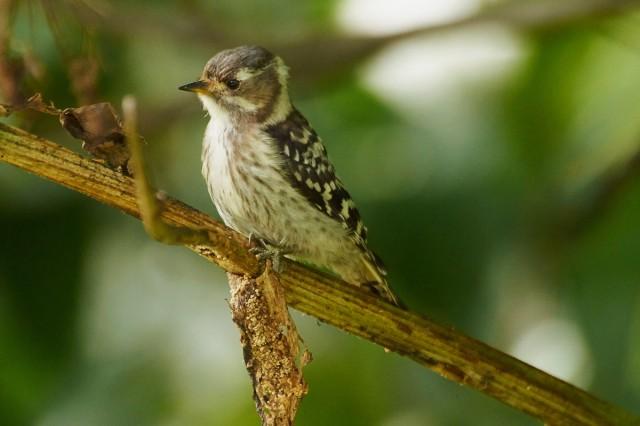 Малый острокрылый дятел Фотограф: VictorV Japanese Pygmy Woodpecker  Просмотров: 477 Комментариев: 1