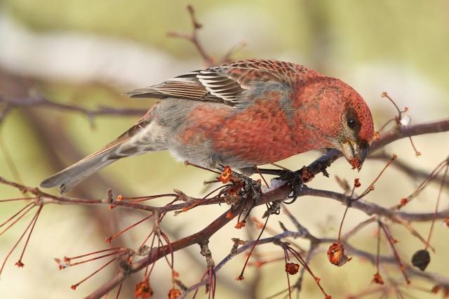 И снова Щур ) Фотограф: VictorV Ну как можно спокойно пройти мимо таких ярких птичек ))  Просмотров: 640 Комментариев: 0