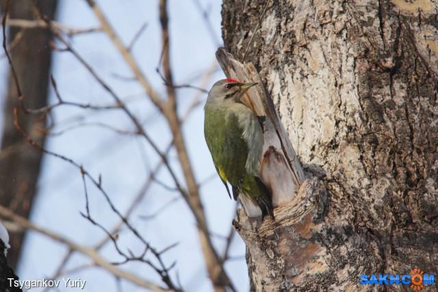 Зеленый или седой дятел? Фотограф: Tsygankov Yuriy  Просмотров: 138 Комментариев: 2