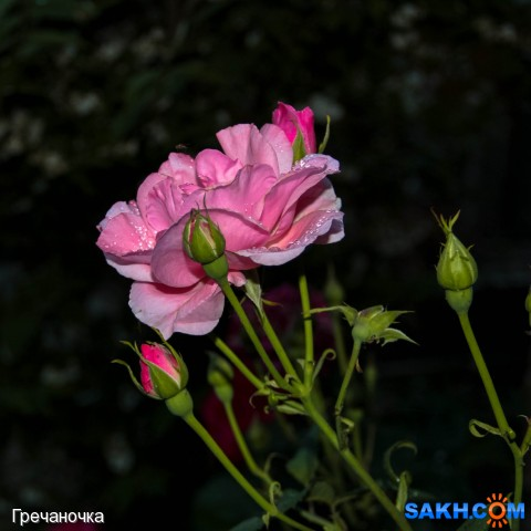 роза в ночи  Просмотров: 60 Комментариев: 0