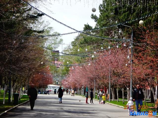 Аллея сакуры в парке.