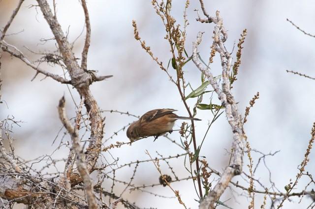 Pallas's Rosefinch Фотограф: VictorV Сибирская чечевица  Просмотров: 270 Комментариев: 0