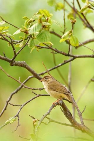 Сахалинская Пеночка  Фотограф: VictorV Sakhalin Leaf Warbler  Просмотров: 1050 Комментариев: 0