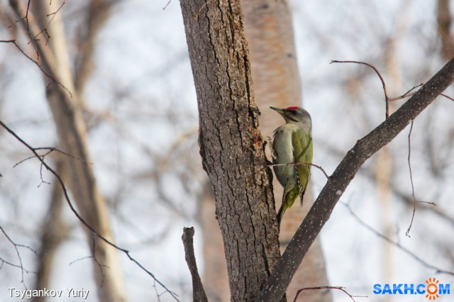 Зеленый или седой дятел? Фотограф: Tsygankov Yuriy  Просмотров: 99 Комментариев: 0