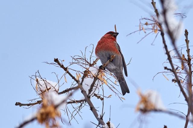 Pine Grosbeak Фотограф: VictorV  Просмотров: 474 Комментариев: 0