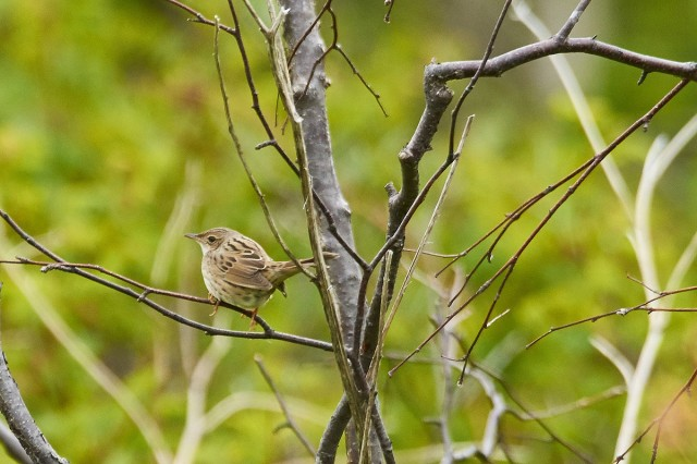 Lanceolated Warbler Фотограф: VictorV Пятнистый сверчок  Просмотров: 487 Комментариев: 0