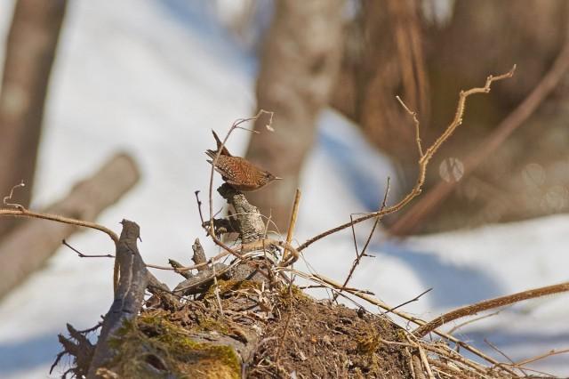 Крапивник Фотограф: VictorV Winter Wren  Просмотров: 457 Комментариев: 2