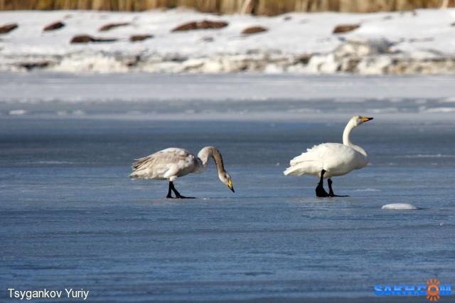 Первые лебеди. Фотограф: Tsygankov Yuriy  Просмотров: 661 Комментариев: 0