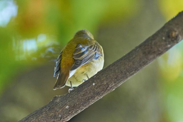Вид со спины )) Фотограф: VictorV Narcissus Flycatcher  Просмотров: 404 Комментариев: 0