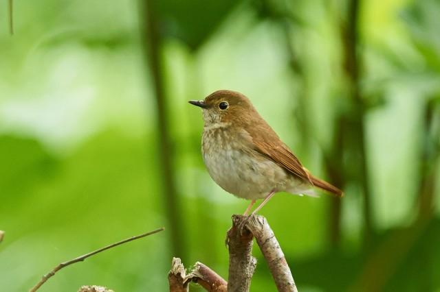Соловей-свистун Фотограф: VictorV Rufous-tailed Robin  Просмотров: 859 Комментариев: 2