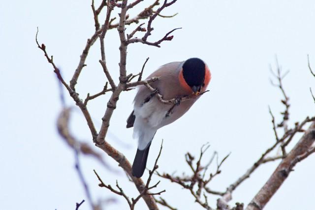 Уссурийский снегирь, самЭц )) Фотограф: VictorV  Просмотров: 676 Комментариев: 0