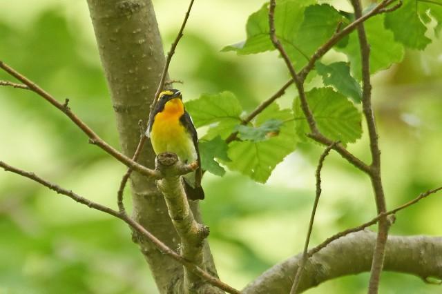 Японская мухоловка, самец Фотограф: VictorV Narcissus Flycatcher, male  Просмотров: 274 Комментариев: 0