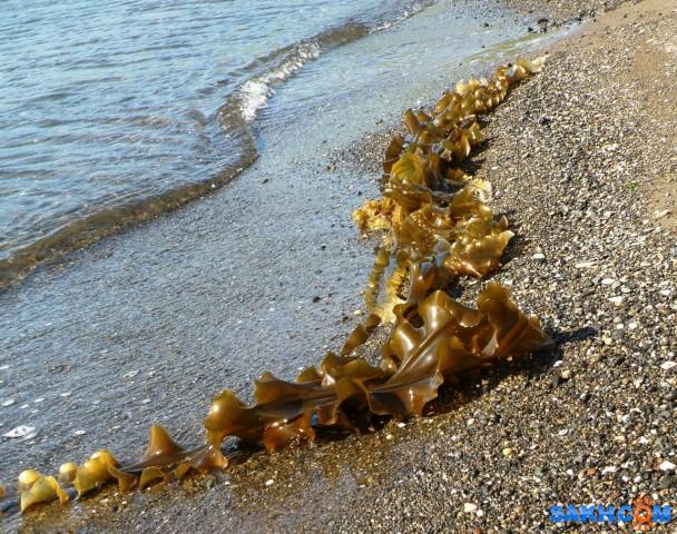 Морская капуста на берегу  Просмотров: 235 Комментариев: 0