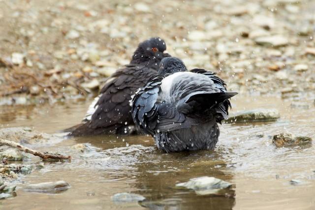 Водоплавающие голуби )) Фотограф: VictorV  Просмотров: 923 Комментариев: 0