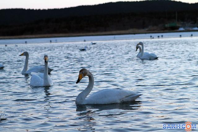 Лебеди в Охотском 04.2011