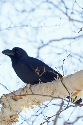 Большеклювая ворона Фотограф: VictorV Large-billed Crow  Просмотров: 1026 Комментариев: 0