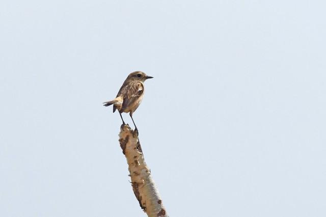 Черноголовый чекан, самка Фотограф: VictorV  Просмотров: 412 Комментариев: 0