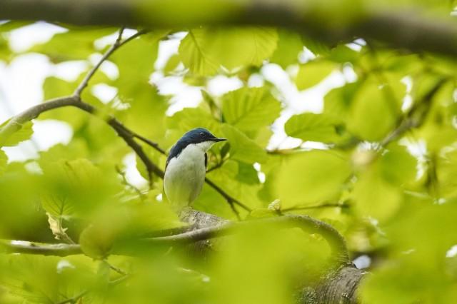 Синий соловей Фотограф: VictorV  Просмотров: 593 Комментариев: 2